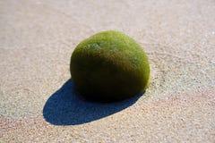 Posidonia oceanica or & x22;grass of Neptune. On an italian beach Stock Photo