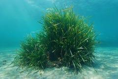 Posidonia oceanica Neptune grass underwater sea. Posidonia oceanica Neptune grass tuft underwater sea, Mediterranean, Balearic islands, Ibiza, Spain Stock Image