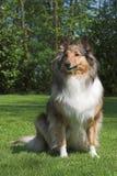 posiedzenie collie, zdjęcie stock