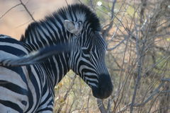 Posing African Zebra Stock Images