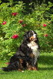 Posing Bernese Mountain Dog. Happy Bernese Mountain Dog sitting on green grass on with red roses on background Royalty Free Stock Image