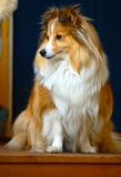 Posing sheltie. Beautiful Shetland Sheepdog Bianca, sheltie Bianca posing for me on the steps Stock Photo