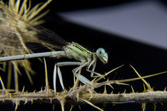 Posing a blue dragonfly on a branch Royalty Free Stock Photo