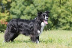 Posing border collie royalty free stock images