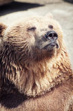 Posing brown bear Stock Photography