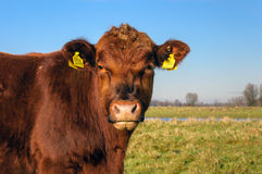 Posing brown Galloway bull on a sunny day Stock Image