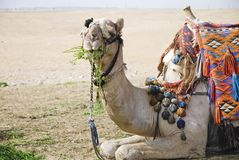 Posing camel 1. A resting camel used for tourist transportation eating a bite. Egypt's friendly faces Stock Photo
