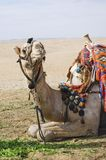 Posing camel 3. A resting camel used for tourist transportation posing for the camera. Egypt's friendly faces Royalty Free Stock Photo