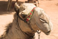 Posing camel. Camel head on egypt beach Royalty Free Stock Photos