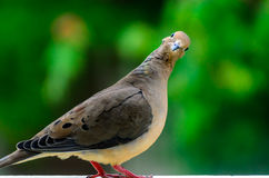 Posing for Camera - mourning dove Royalty Free Stock Image
