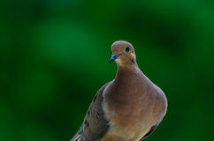 Posing for Camera - mourning dove Stock Photo