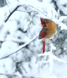 Posing cardinal Royalty Free Stock Photography