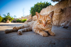 Posing cat. Ginger and cute Royalty Free Stock Images