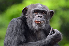 Posing Chimpanzee. A Chimpanzee stares at the camera as he eats his lunch at the Los Angeles Zoo royalty free stock photography