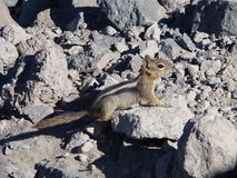 Posing Chipmunk Royalty Free Stock Images