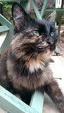 Posing. Daisy The cat Royalty Free Stock Photography