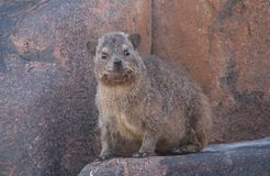 Posing Dassie Royalty Free Stock Photography