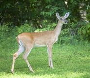 Posing doe Royalty Free Stock Image
