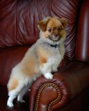 Posing dog portrait. A Miki dog, posing for the camera Royalty Free Stock Image