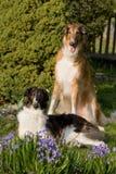 Posing dogs in garden - Borzoi Stock Photo