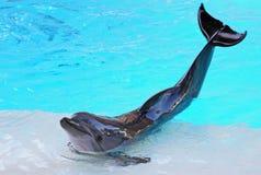 Posing Dolphin Royalty Free Stock Photos
