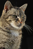Posing domestic female cat Royalty Free Stock Photo