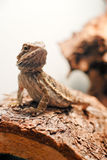 Posing Dragon Royalty Free Stock Images