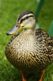 Posing Duck. Close up of a duck before it was begging for food Stock Image