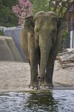 Posing elephant looking in camera while drinking water stock photos