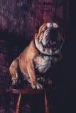 Posing English bulldog Stock Image