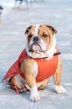 Posing English bulldog outdoor Royalty Free Stock Images