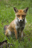 Posing Fox. Red fox posing for a portrait on a summers day Stock Image