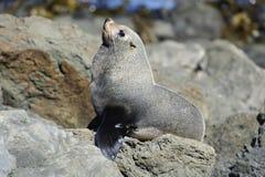 Posing Fur Seal Stock Photos