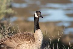 Posing goose looking at photographer wondering what is up. Goose looking at camera and wondering if it is something to eat or attack royalty free stock images