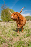 Posing Highland cow in winter coat Royalty Free Stock Image