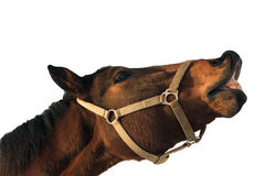 Posing horse. Isolated horse head-horse giving a kiss Stock Image