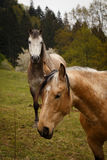 posing horses on a green mountain meadows Stock Images