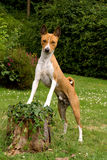 Posing hound royalty free stock photography