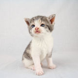Posing kitten Stock Photography