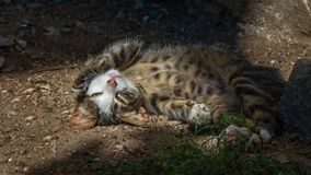 Posing kitty royalty free stock photo