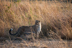Posing leopard Stock Image