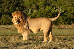 Posing lion. Royalty Free Stock Photo