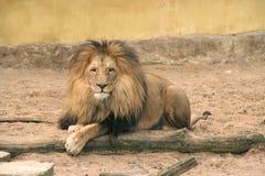Posing lion. Smiling at camera Stock Photography