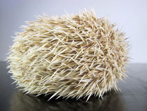 Posing little African hedgehog Stock Images