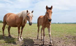 Posing mare and her foal. A mare and her foal are posing standing in the field Royalty Free Stock Images
