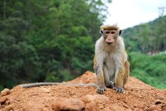 Posing monkey Stock Images