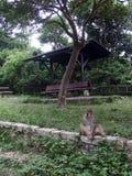 Posing Monkey. Monkey posing for the camera Stock Images