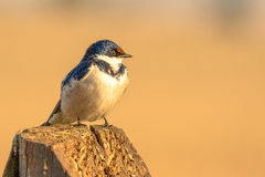 Posing in morning sunlight. I photographed this White-throated swallow one cold morning as it was enjoying the early morning sunlight Royalty Free Stock Image