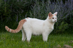 Posing Orange & White Cat. An orange and white cat poses in the grass Royalty Free Stock Images