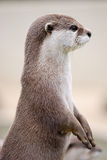 Posing Otter surveying the area. Otter inquisitively looking for a next meal Royalty Free Stock Photo